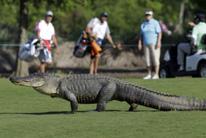 Cocodrilo golfista