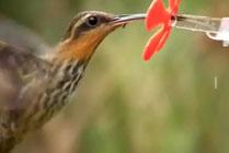 Alimentaci�n colibr�