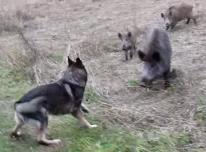 Perro vs Jabalies